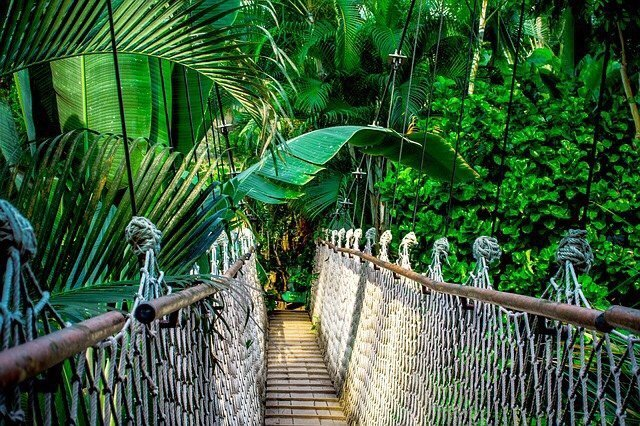 Ecuador has a vast size of jungles thorughout its country. Many of the mountains and hills are connected through wooden bridges as in this image of a bridge in the jungle.