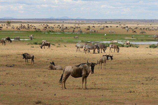 Safari wild animals like zebras drinking water in Kenya, Africa.