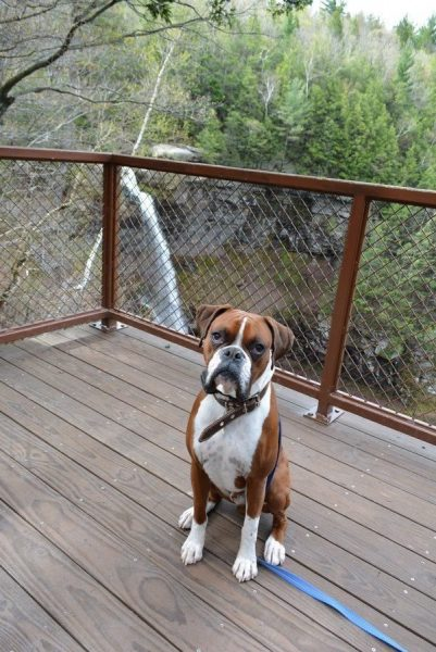 Boxer, Parker, sitting on the wooden Upper Viewing Kaaterskill Falls Platform.
