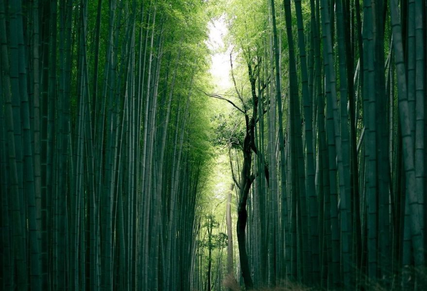 Tall green bamboo trees in Japan.