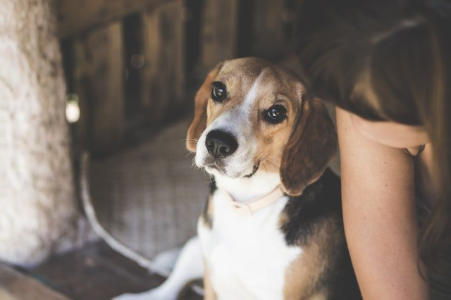 Animal beagle dog sitting next to a young woman.