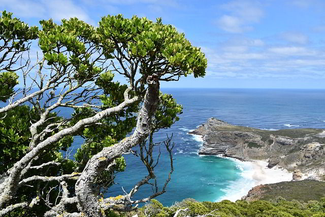 Tree on cliff in Cape Town Africa with body of water and a beach below.